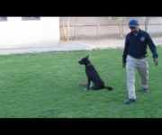 Bergo - behavior modification & companion dog training courses - Eastwind Academy