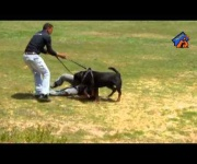 Jerry - Muzzle attack  training - Eastwind Academy
