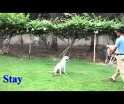 Vanila - Companion Dog